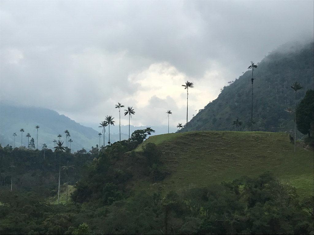 Les palmiers de cire de la Vallée de Cocora