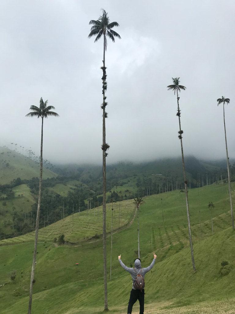 Les immenses palmiers de cire du Quindio