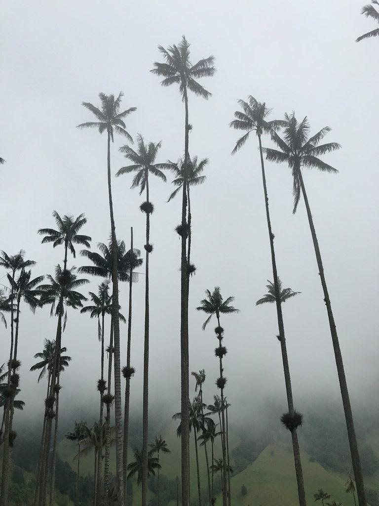 La Vallée de Cocora et ses palmiers de cire