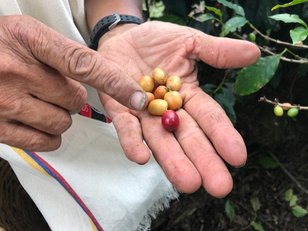 Les cerises de café de la Finca El Carriel